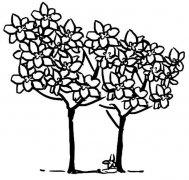 香气扑鼻的桂花树简笔画怎么画简单好看